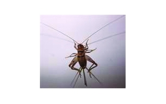 House Crickets Cricket Problems How To Get Rid Of Crickets